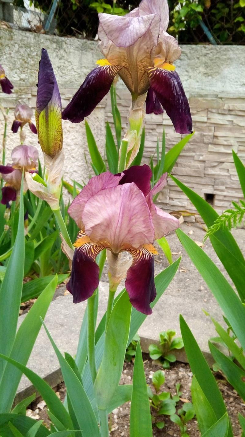 Iris bordeaux mal identifié 'Bruno' Iris_b17