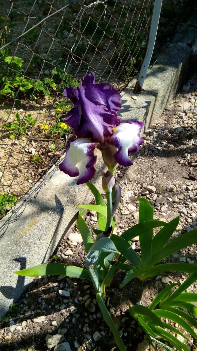 Iris violine cherche nom Iris_b20