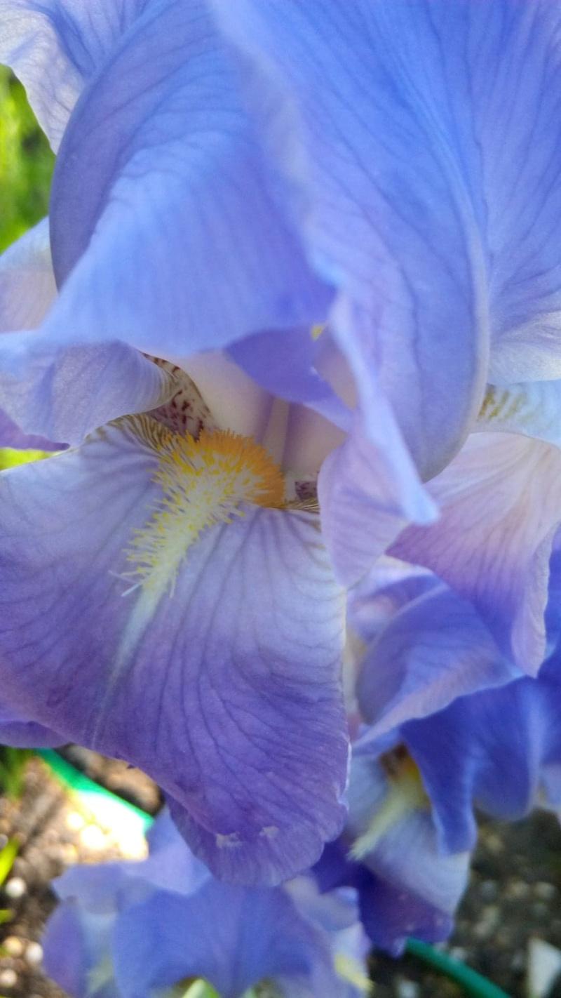 Iris violacea grandiflora Iris_b23