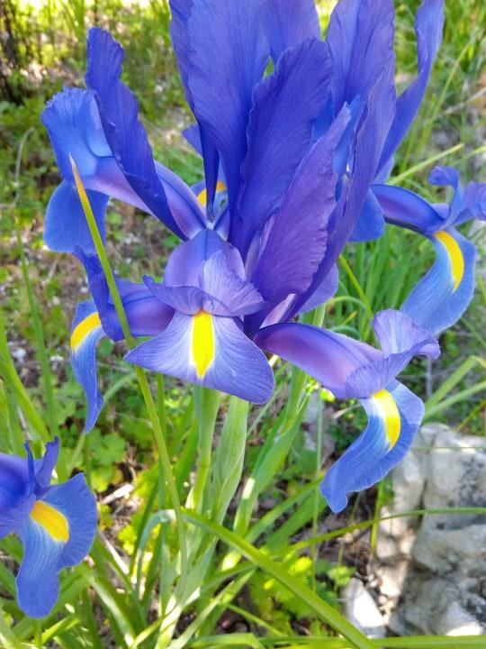 Iris bleu Iris_d10