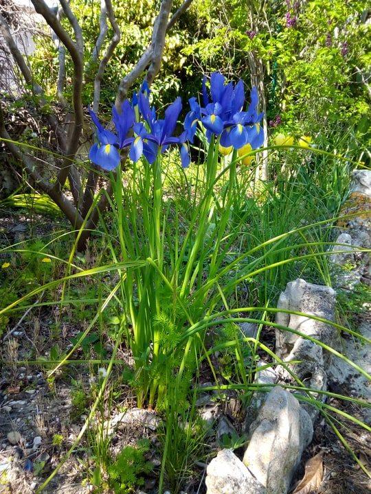 Iris bleu Iris_d11