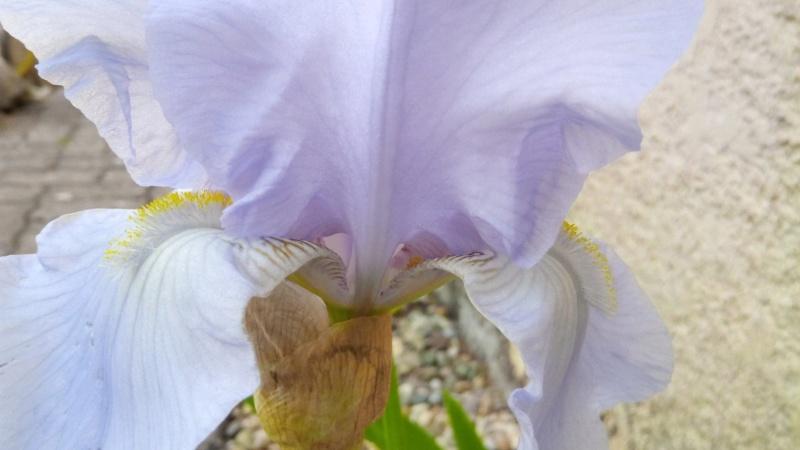 Grand iris mauve très pâle Iris_e10