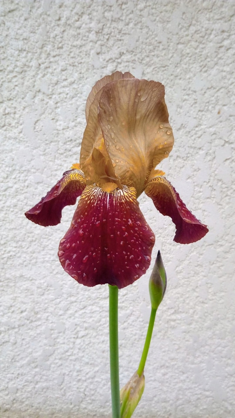 Grand iris robuste Iris_f13