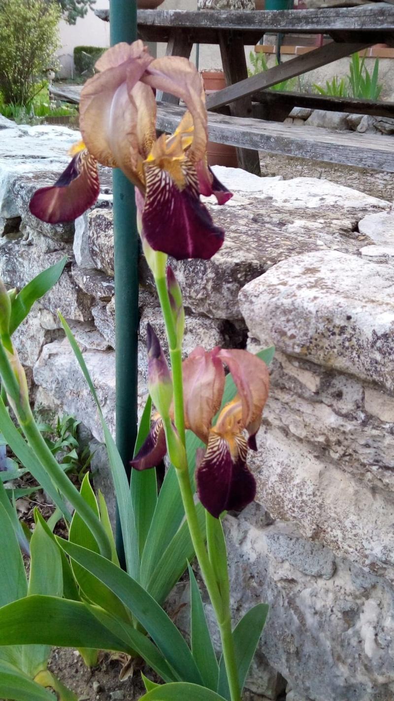 Iris 'Prosper Laugier' - Verdier 1914 Iris_j14