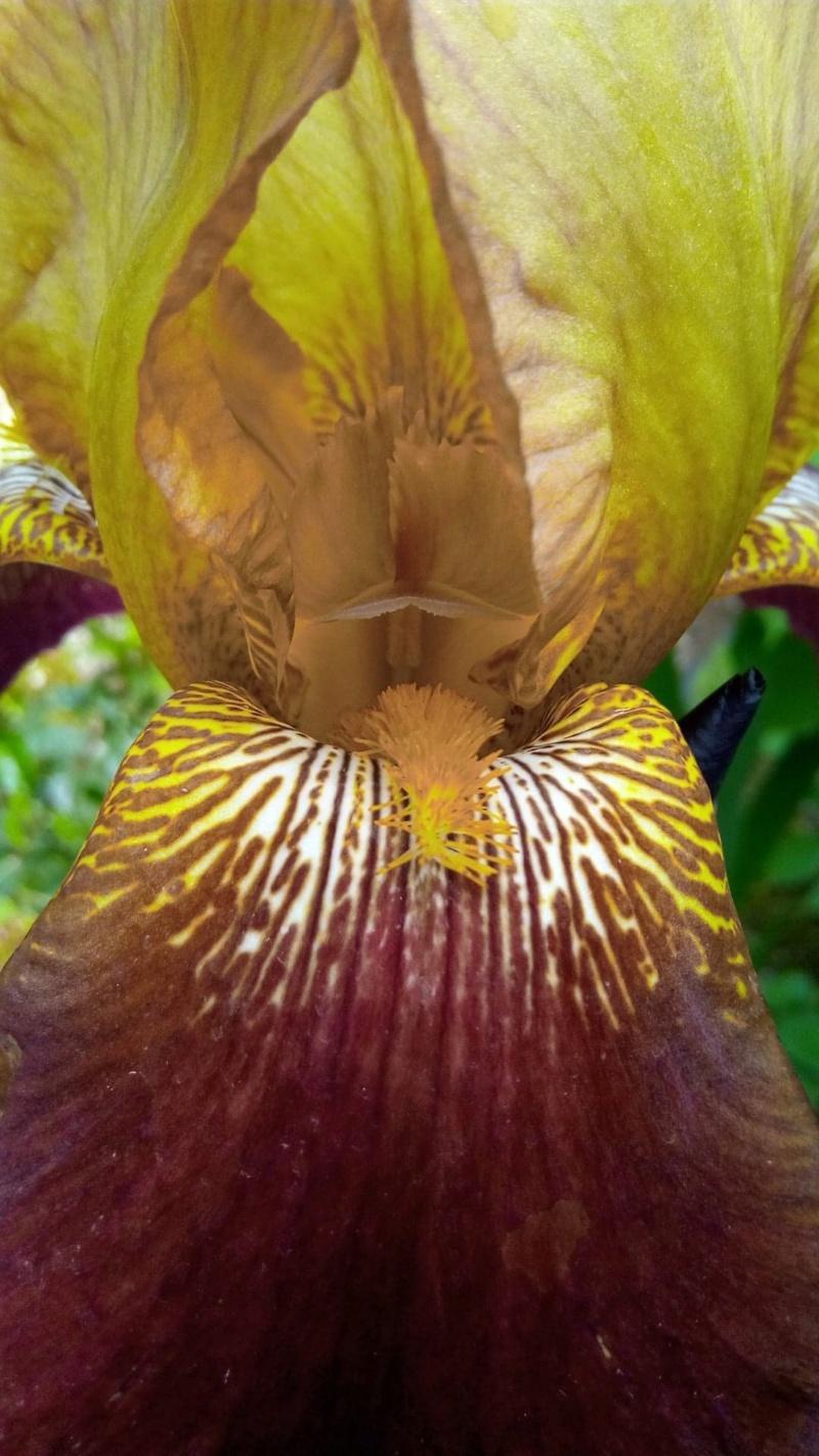 Grand iris robuste Iris_l10