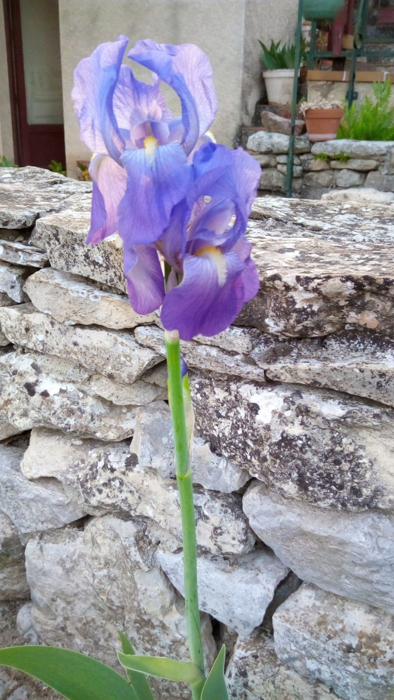 """Iris intermédiaire mauve clair """"pommé Iris_m12"""