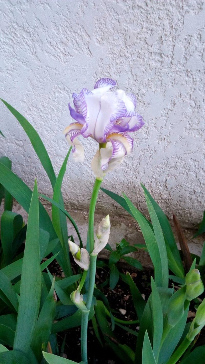 Iris blanc veiné de mauve Iris_m14