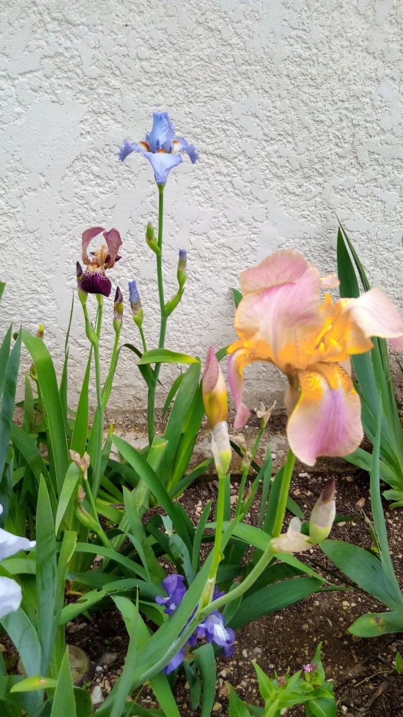 iris rose et jaune/orange Iris_r10