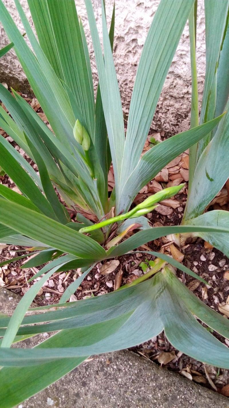 Iris différents des autres Iris_v11