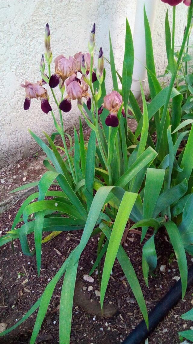 Iris couleur sable et bordeaux Przos_10