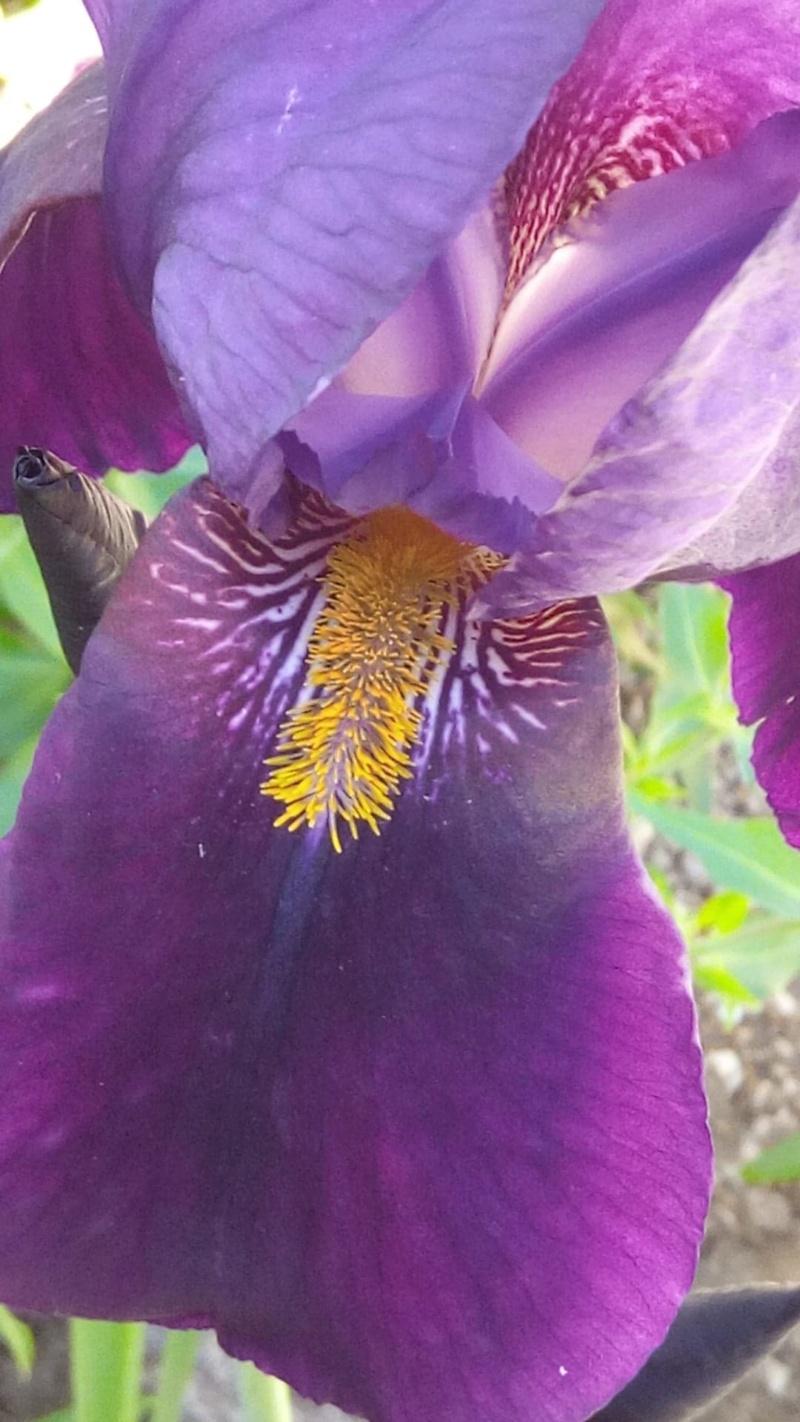 Grand iris violet profond Rayure12