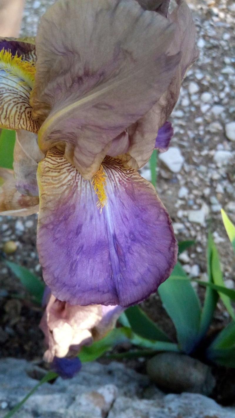 Iris belles couleurs mais inconnu Szopal11