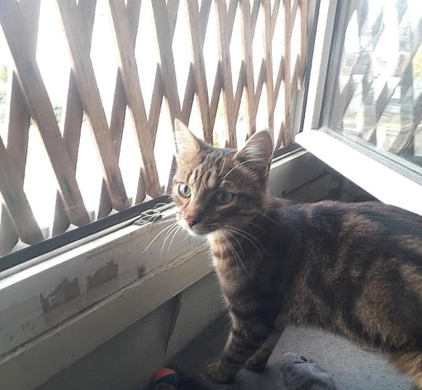 Paris, Noisette, jeune chat tigré cherche famille d'adoption/Région Parisienne Noiset10