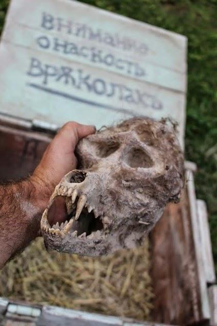 S'agit-il d'un crâne de loup-garou? Werewo11
