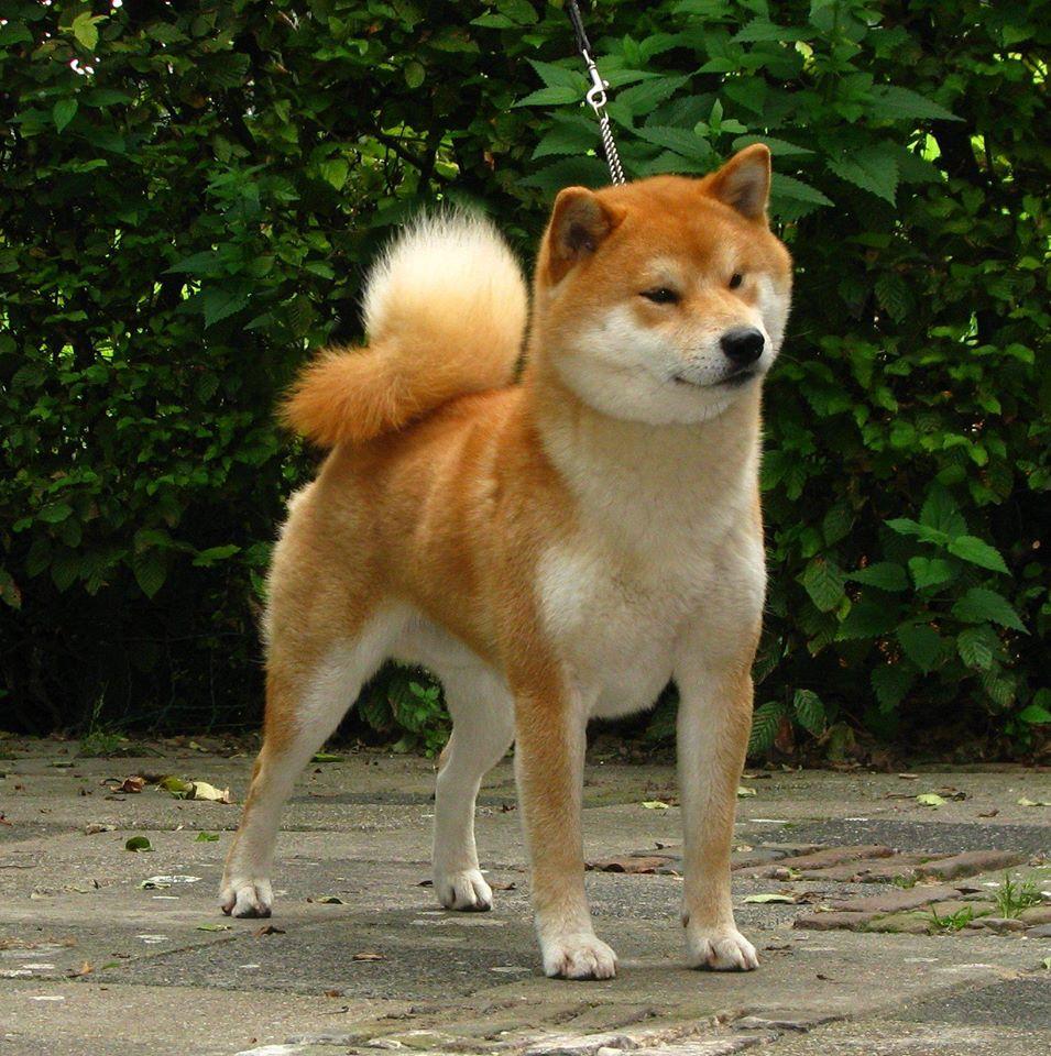 щенок в питомнике Юкаси A_10