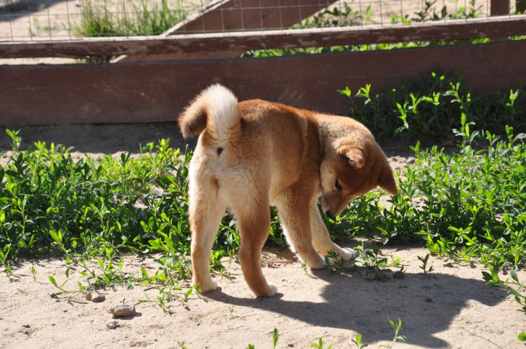 щенок в питомнике Юкаси Dsc_0043