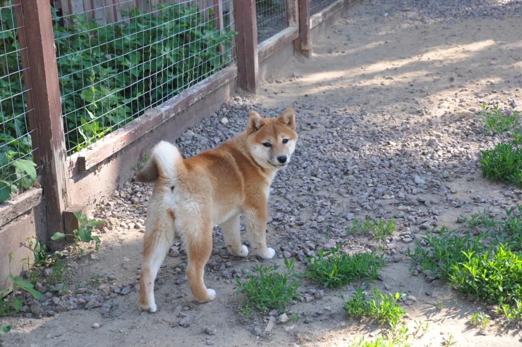 щенок в питомнике Юкаси Dsc_0047