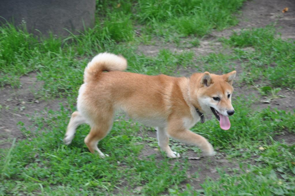 щенок в питомнике Юкаси Dsc_0049