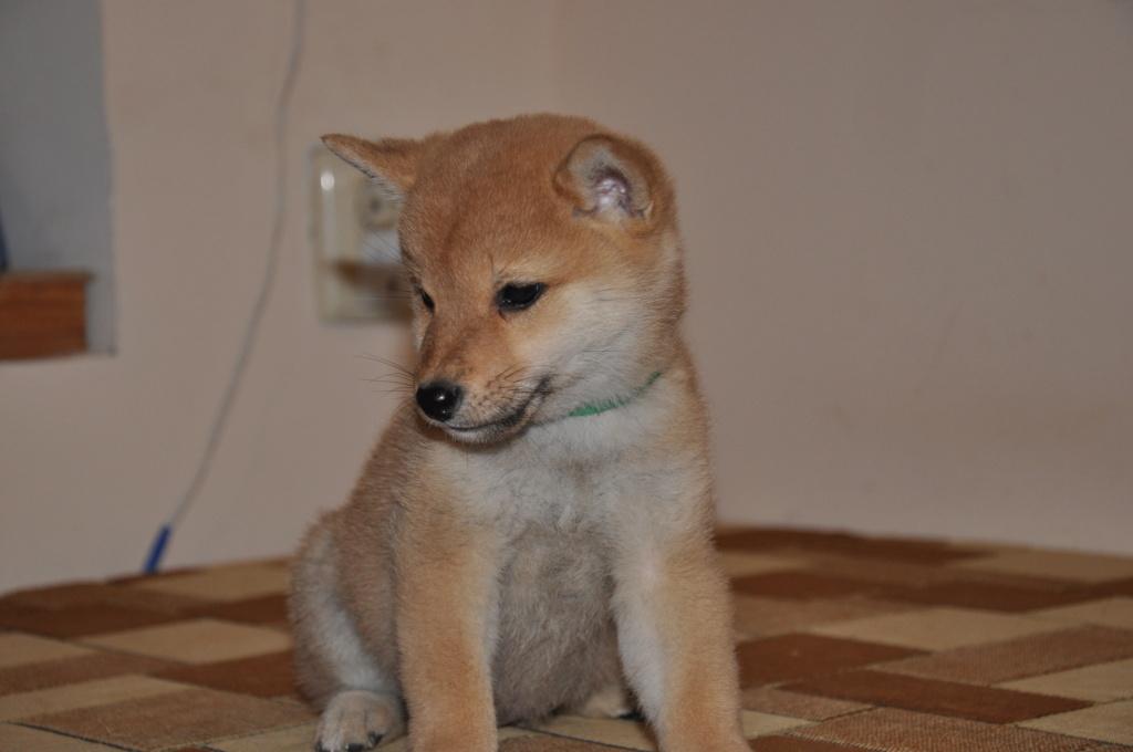 щенок в питомнике Юкаси Dsc_0116