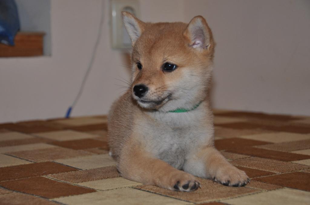 щенок в питомнике Юкаси Dsc_0117