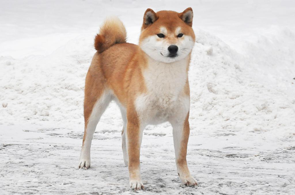 щенок в питомнике Юкаси Hoshi_14