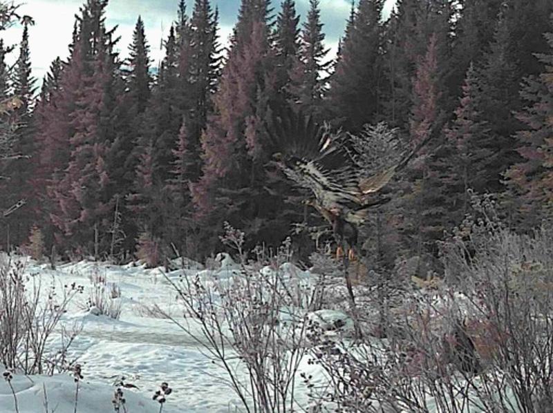 Oiseau de proie à identifier Aigle110
