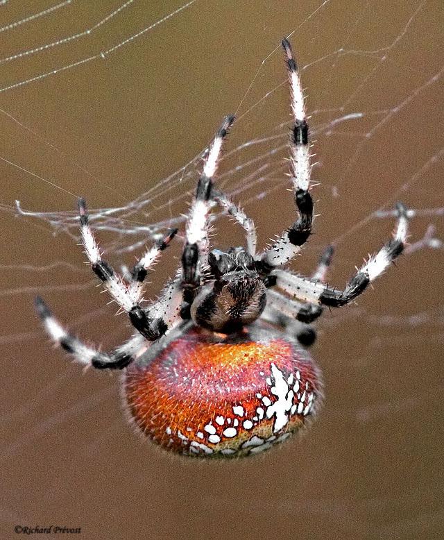 Araignée Araneus trifolium Araign11