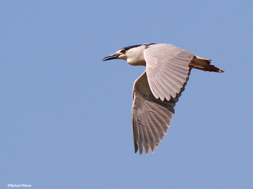 Bihoreau gris en vol Bihore10