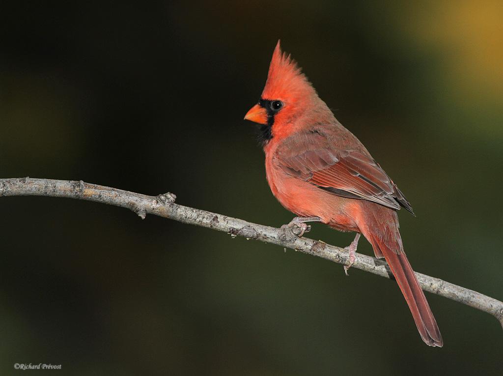 Cardinal rouge (coopératif) Cardin10