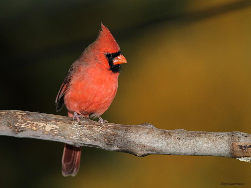 Cardinal rouge (coopératif) Cardin11