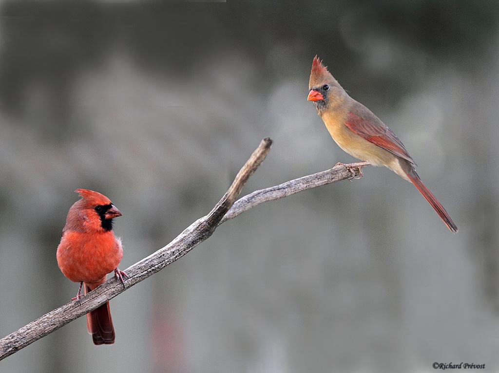 Cardinal rouge Cardin17