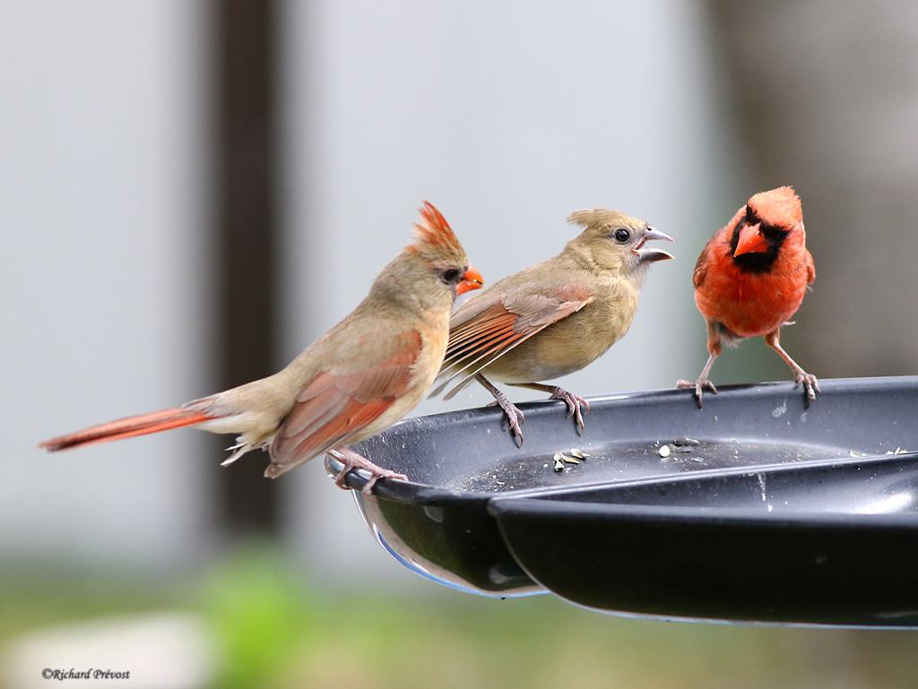 Cardinal rouge en famille Cardin21