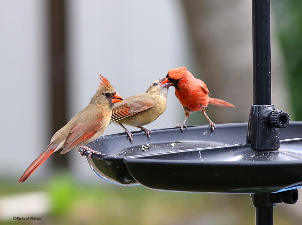 Cardinal rouge en famille Cardin22