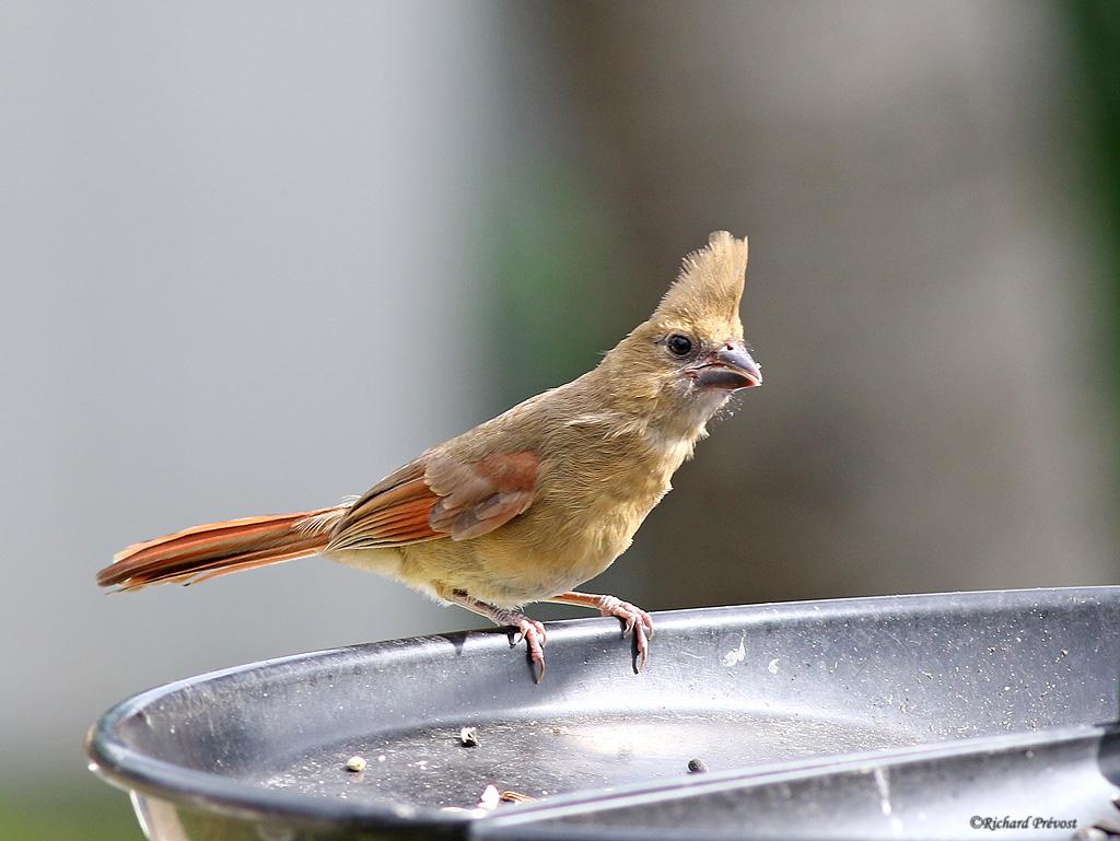 Cardinal rouge en famille Cardin23