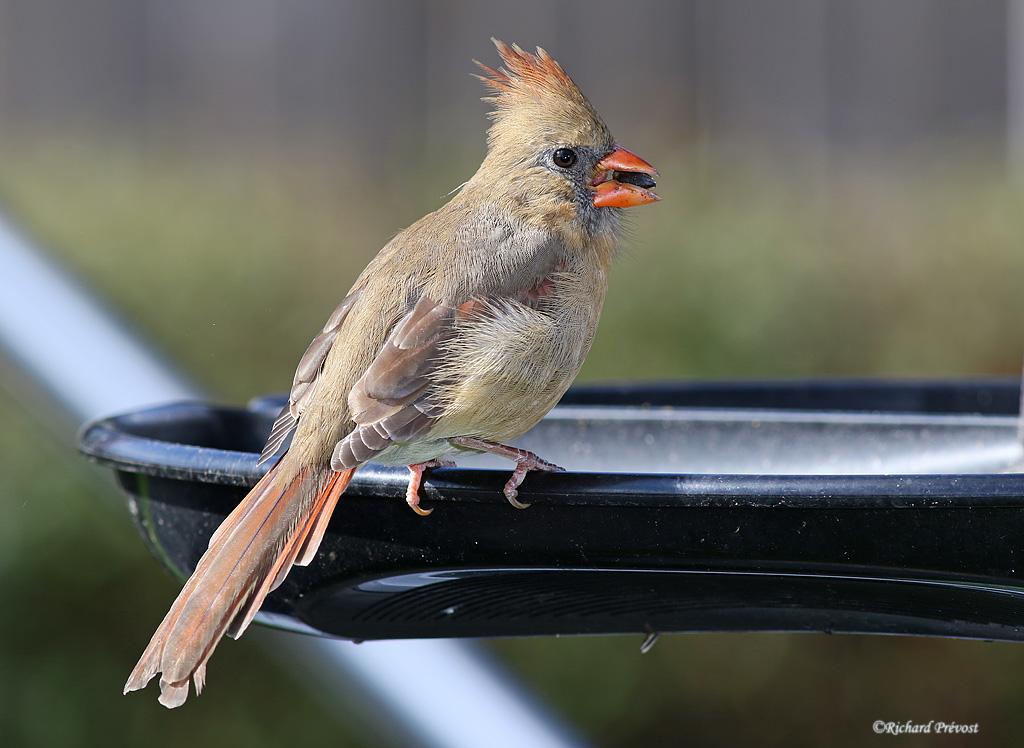 Cardinal rouge femelle Cardin24