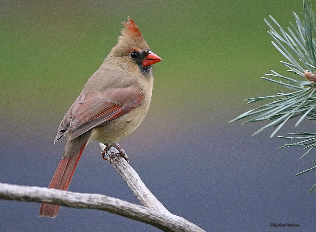 L'heure du Cardinal... Cardin26
