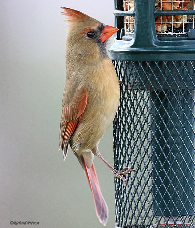 L'heure du Cardinal... Cardin27