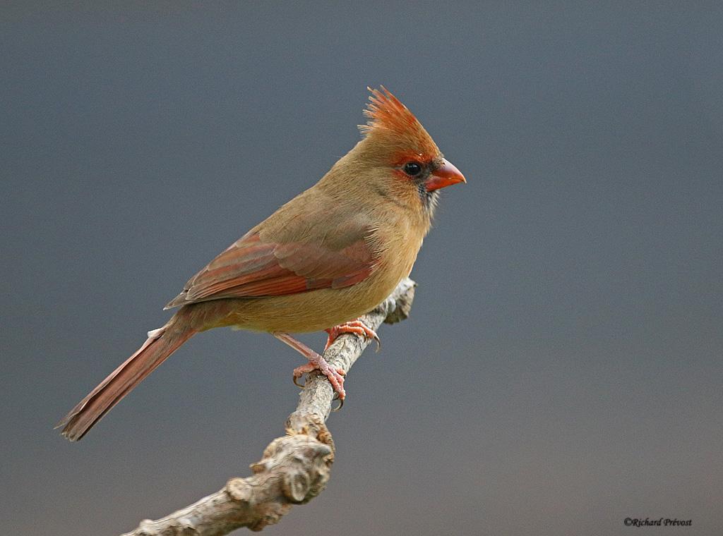 L'heure du Cardinal... Cardin28