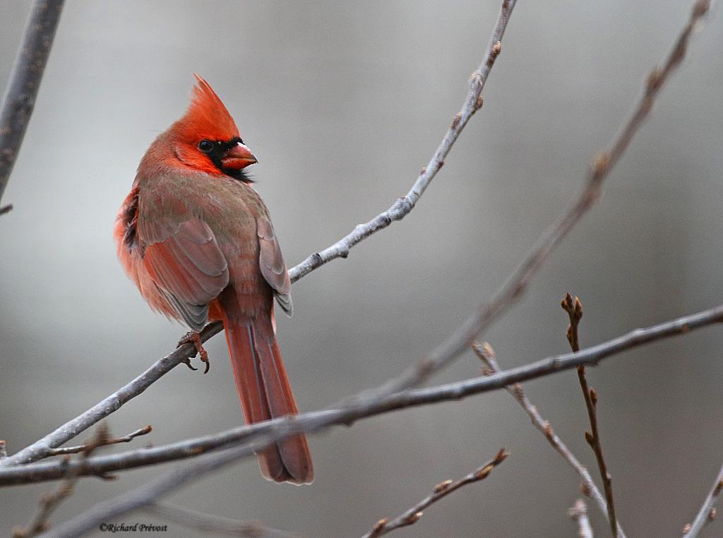 L'heure du Cardinal... Cardin29