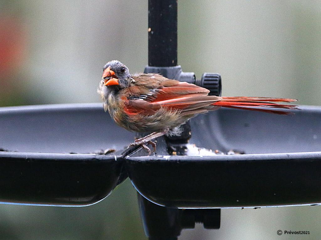 Cardinal rouge pas a son meilleur... Cardin33