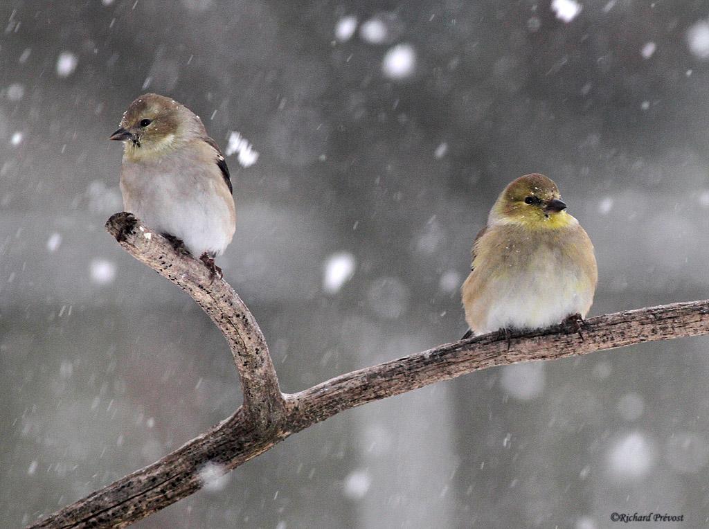 Chardonnerets jaune sous la neige Chardo11