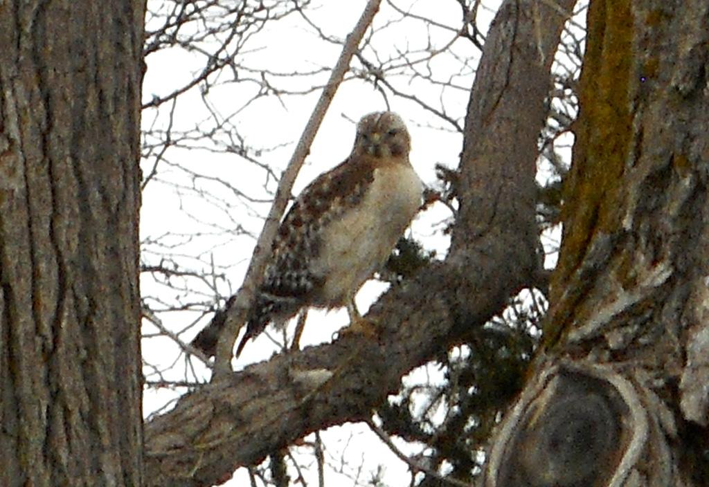 Identification d'un oiseau de proie Dscn0011