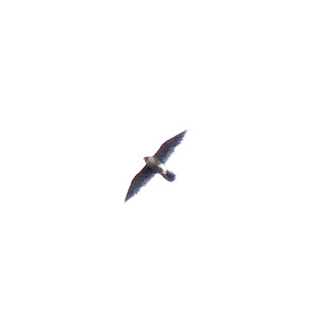 Êtes-vous partant pour un faucon pèlerin? Dscn8311
