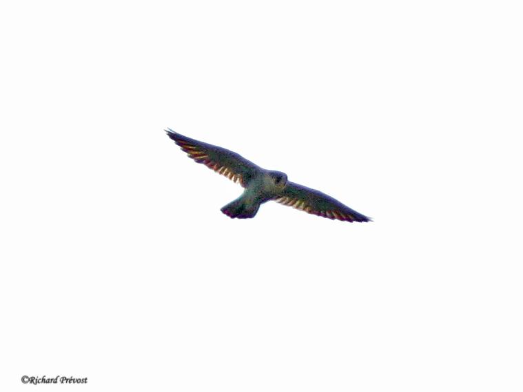 faucon à identifier Faucon40
