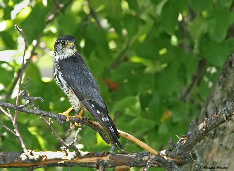 Faucon émerillon, jeune femelle ? Faucon52