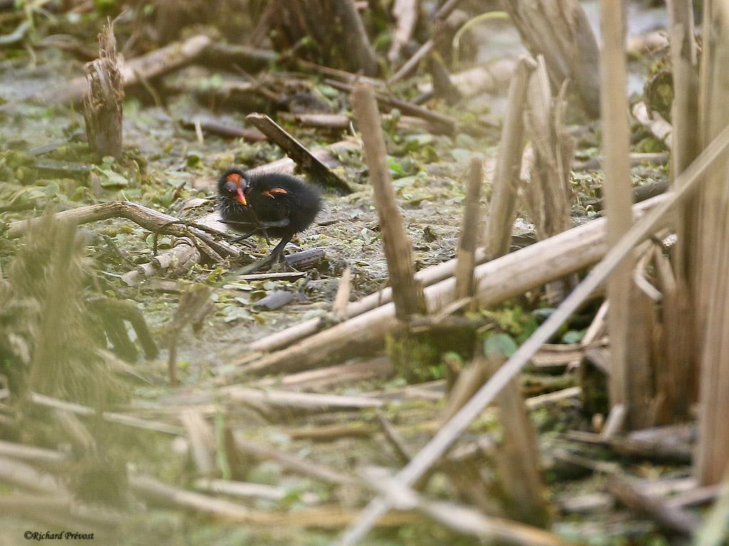 Gallinule poule-d'eau - poussin Gallin13