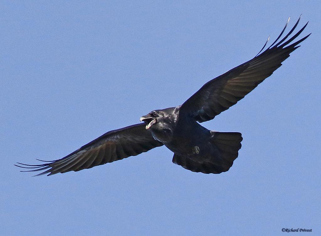 Grand Corbeau en vol Grand_22