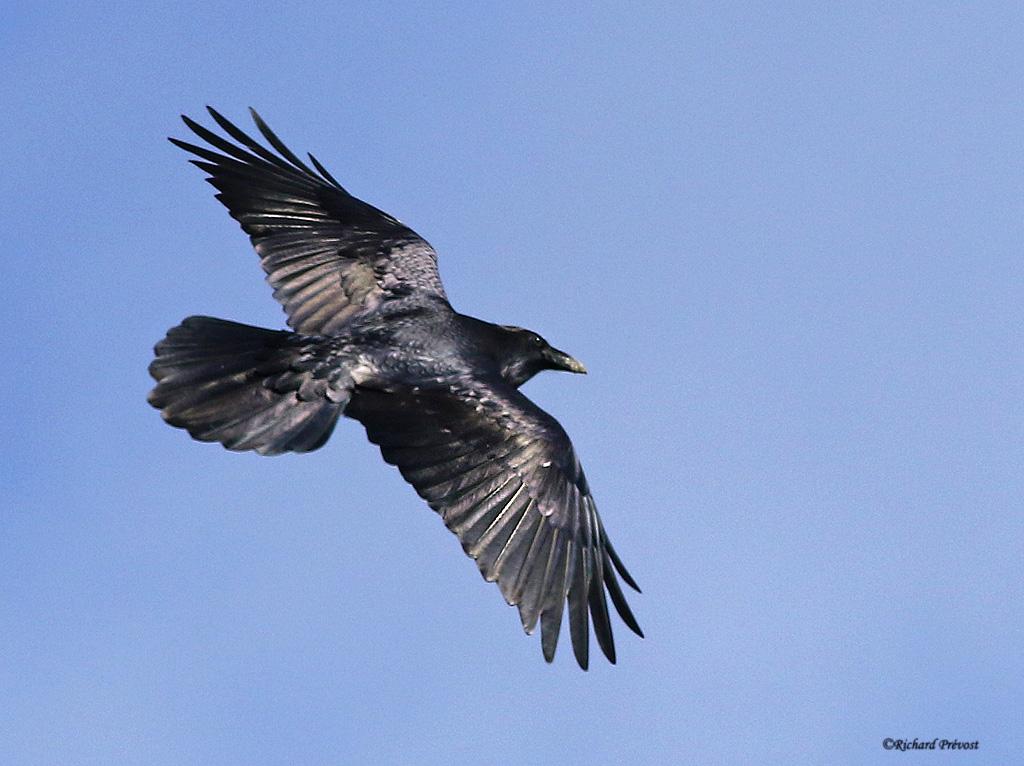 Grand Corbeau en vol Grand_23