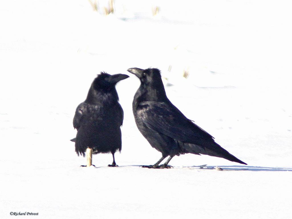 Grands corbeaux Grands11