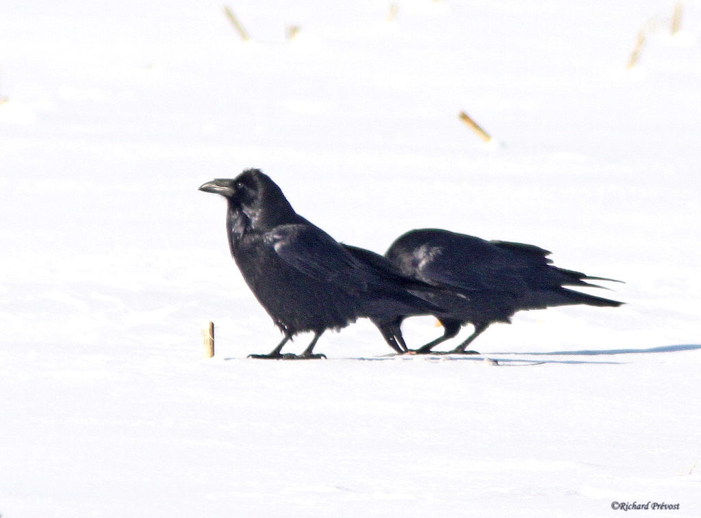 Grands corbeaux Grands12